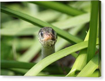 Snake In The Grass Canvas Print by Jennifer E Doll
