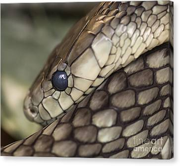 Snake Canvas Print by Lucid Mood