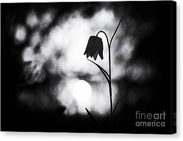 Snakes Head Fritillary Monochrome Canvas Print by Tim Gainey