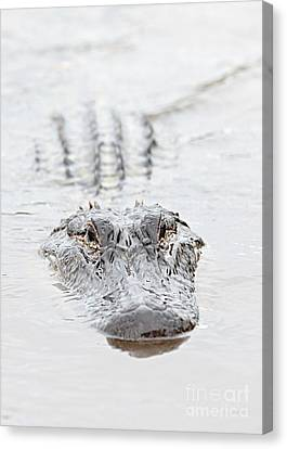 Sneaky Swamp Gator Canvas Print by Carol Groenen