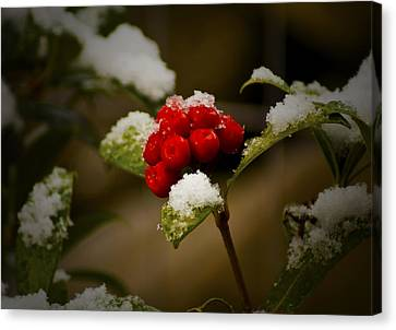 Snow And Berries Canvas Print by Ron Roberts