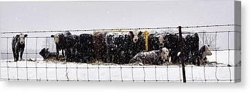 Snow Calves Canvas Print by Cricket Hackmann