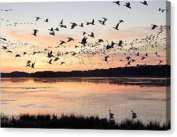 Snow Geese At Chincoteague Last Flight Of The Day Canvas Print by Bill Swindaman
