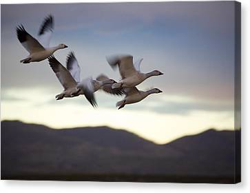 Snow Geese In Flight Canvas Print by Panoramic Images