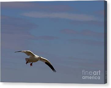 Snow Goose Approach Canvas Print by Mike Dawson