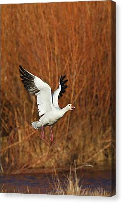Snow Goose (chen Caerulescens Canvas Print by Larry Ditto