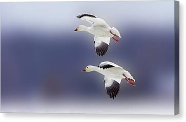 Snow Goose Flight Canvas Print by Bill Tiepelman
