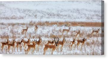 Snow Grazers Canvas Print by Darren  White