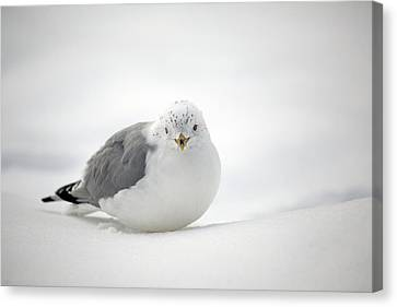 Snow Gull Canvas Print by Karol Livote
