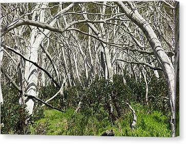 Snow Gums Regenerating After Fire Canvas Print by Dr Jeremy Burgess