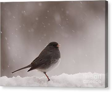 Snow Junco Canvas Print by Cheryl Baxter