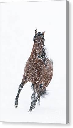 Snow Stallion Trots Canvas Print by Carol Walker