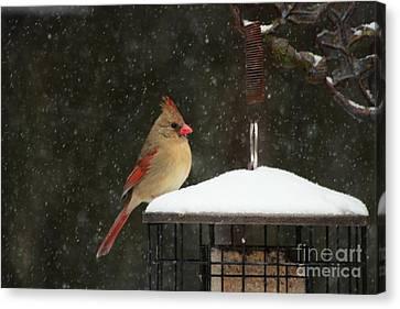 Snowy Cardinal Canvas Print by Benanne Stiens