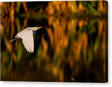 Snowy Egret Climbing Up To The Sky Canvas Print by Andres Leon