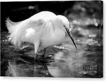 Snowy Egret Canvas Print by Jennifer Magallon