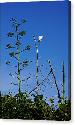 Snowy Egret On Yucca Perch Canvas Print by John Myers