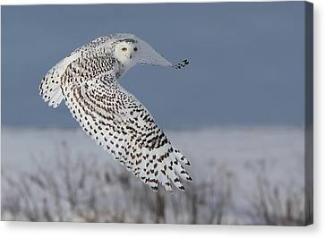 Snowy In Action Canvas Print by Mircea Costina Photography
