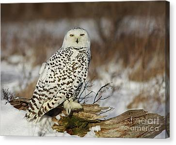 Snowy Owl At Sunset Canvas Print by Inspired Nature Photography Fine Art Photography