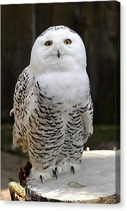 Snowy Owl Canvas Print by Heiti Paves