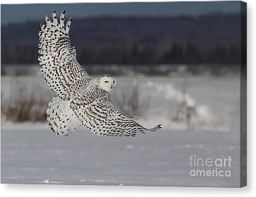 Snowy Owl In Flight Canvas Print by Mircea Costina Photography