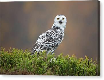Snowy Owl Canvas Print by Milan Zygmunt