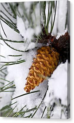 Snowy Pine Cone Canvas Print by Elena Elisseeva