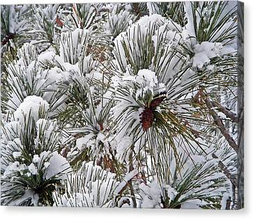 Snowy Pine Needles Canvas Print by Aimee L Maher Photography and Art Visit ALMGallerydotcom
