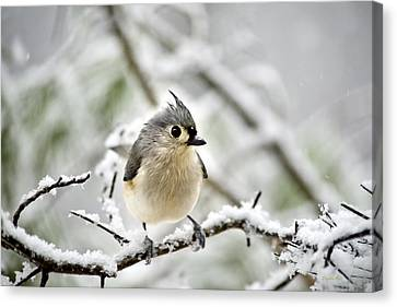 Snowy Tufted Titmouse Canvas Print by Christina Rollo