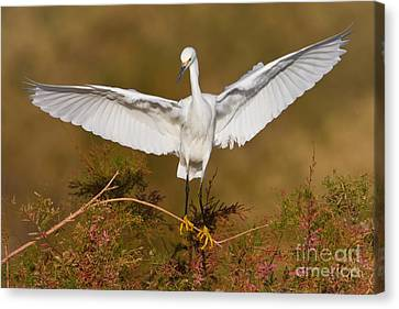 Snowy Wingspread Canvas Print by Bryan Keil