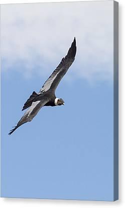 Soaring Condor Canvas Print by Tim Grams