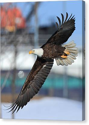 Soaring Eagle Canvas Print by Coby Cooper