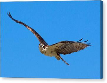 Soaring Osprey Canvas Print by Adam Pender