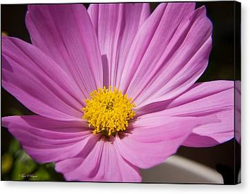 Soft Petals Canvas Print by Tyra  OBryant