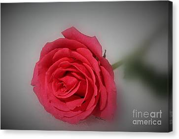 Soft Red Rose Canvas Print by Yumi Johnson