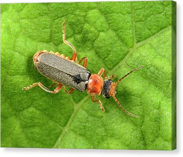 Soldier Beetle Canvas Print by Nigel Downer