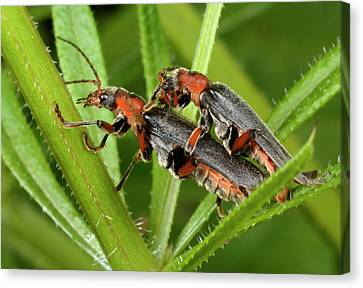 Soldier Beetles Mating Canvas Print by Nigel Downer