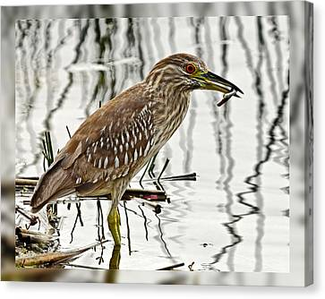 Solitary Juvenile Canvas Print by Dawn Currie