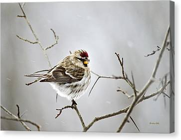 Solitary Redpoll Canvas Print by Christina Rollo