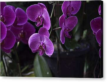 Some Very Beautiful Purple Colored Orchid Flowers Inside The Jurong Bird Park Canvas Print by Ashish Agarwal