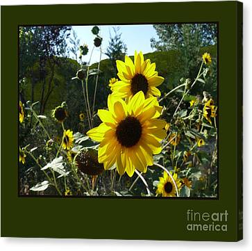 Song Of The Sunflower Canvas Print by Jacquelyn Roberts