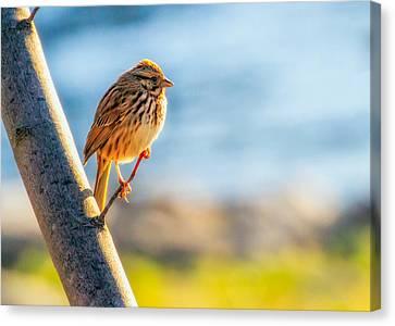 Song Sparrow Canvas Print by Bob Orsillo