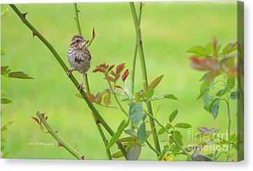 Song Sparrow Canvas Print by Rima Biswas