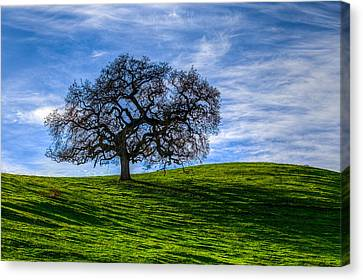 Sonoma Tree Canvas Print by Chris Austin