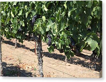 Sonoma Vineyards In August In The Sonoma California Wine Country 5d24487 Canvas Print by Wingsdomain Art and Photography