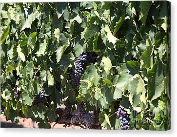 Sonoma Vineyards In The Sonoma California Wine Country 5d24489 Canvas Print by Wingsdomain Art and Photography