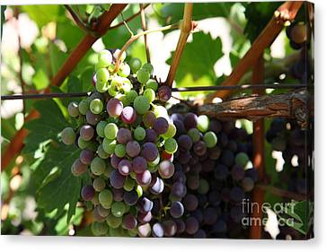 Sonoma Vineyards In The Sonoma California Wine Country 5d24578 Canvas Print by Wingsdomain Art and Photography