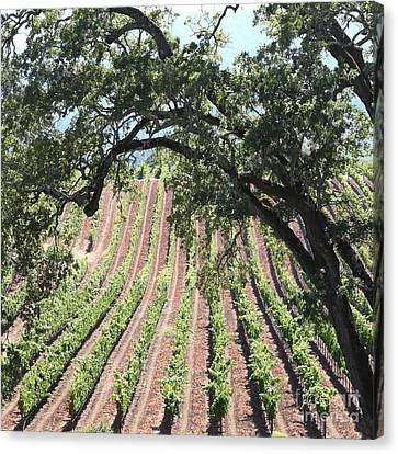 Sonoma Vineyards In The Sonoma California Wine Country 5d24619 Square Canvas Print by Wingsdomain Art and Photography