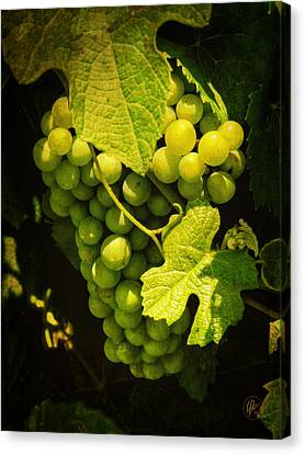 Sonoma Wine Grapes 002 Canvas Print by Lance Vaughn