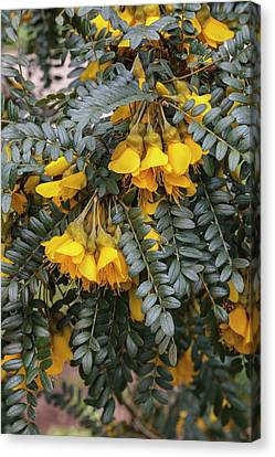 Sophora Sun King Canvas Print by Geoff Kidd