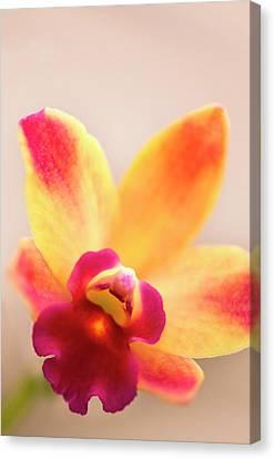 Sophrolaeliocattleya Orchid Canvas Print by Maria Mosolova